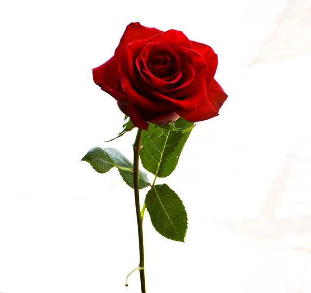 rose_stock_by_breann.png
