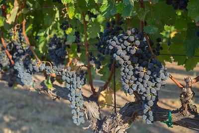 Thor Family Vineyards