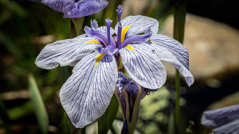 00120 Blue Iris and Fly 16x9.jpg