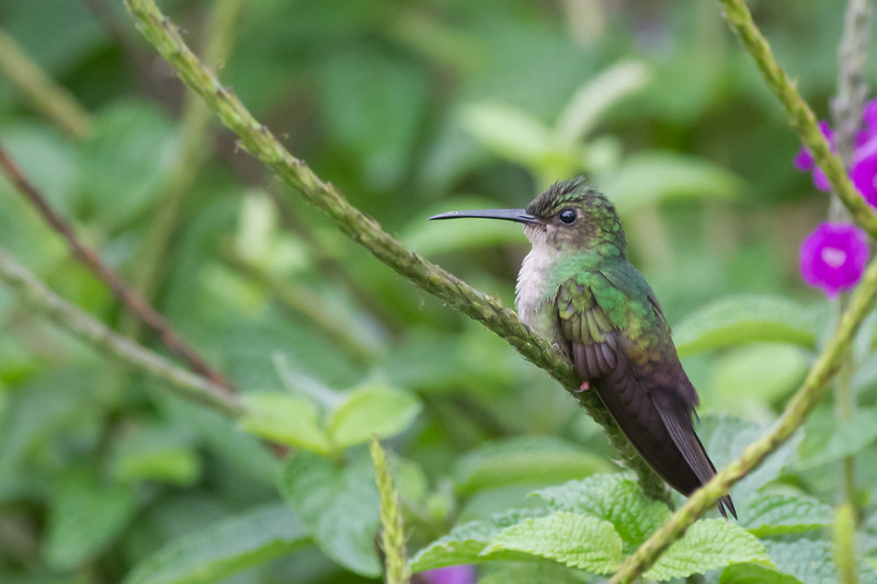 Red-footed Plumeleteer - Arenal - Costa Rica