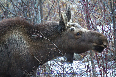 Young bull moose in January