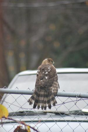 Sharp Shinned Hawk visitor