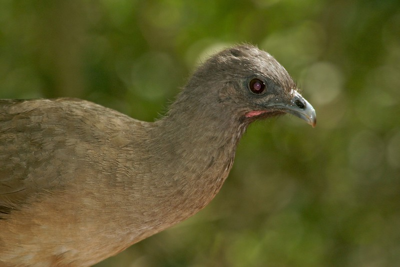 Usually first located by their loud and raucous calls, the Plain Chachalaca is a common resident of south Texas [April; Lower Rio Grande Valley, Texas]