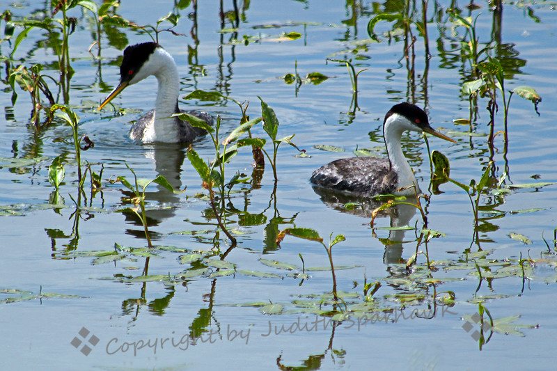 Western Grebe Couple ~ This pair of Western Grebes was swimming around in the water plants at the edge of Barr Lake in Colorado. I liked their reflections among the plants.