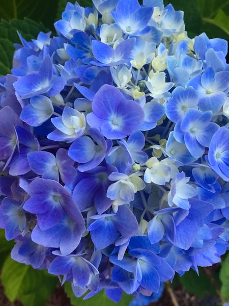 Blue Hydrangea Series #1.jpg