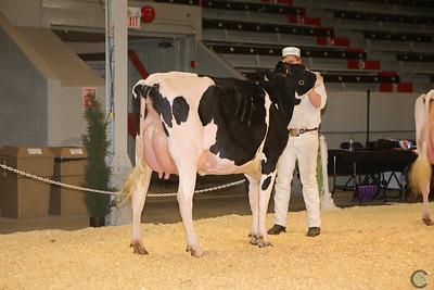 Calgary Spring Holstein Cows 2017