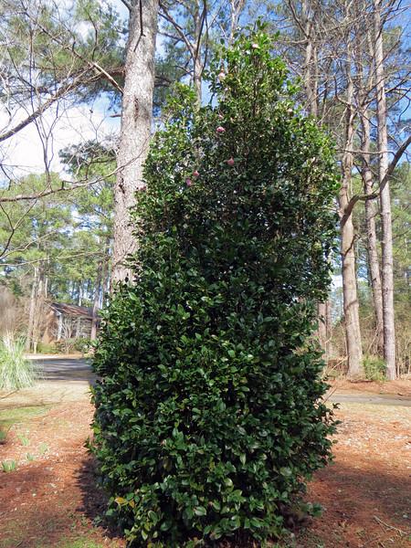 February 16 - March 24 :  Spotlight on the Japanese Camellia .  .  .