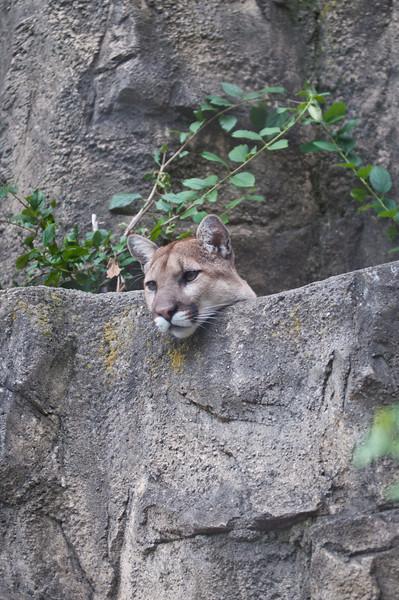 Cougar, no fence