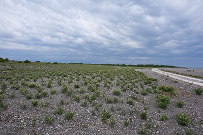 Apocynaceae Oleanderväxter