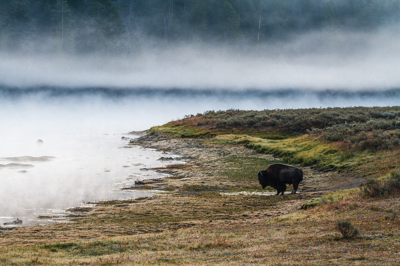 Early morning bison in the Hayden Valley, Yellowstone National Park