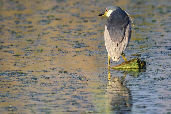 7-25-15 Black-crowned Night Heron