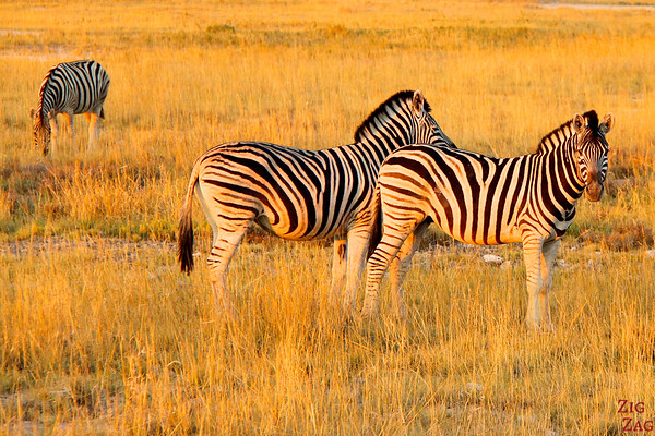 Zebras in Namibia