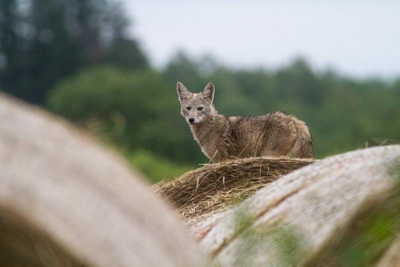 Coyote pup juvenile young on hay bale McDavitt Road Bog BioBlitz VI FOSZB Sax-Zim Bog MNIMG_0117.jpg