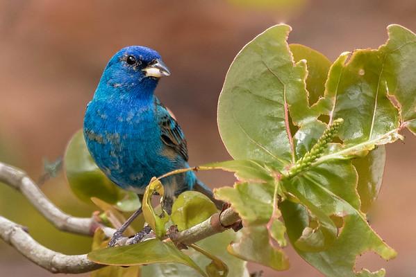 BIRDS - Songbirds