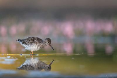 Shorebirds / Vadare