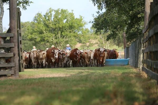 7J Aug 2014 Shipping Calves