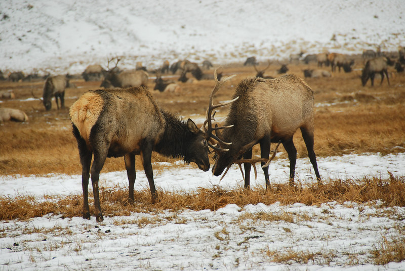 Elk playing   (Dec 13, 2006, 02:33pm)  Picture taken from a wagon (in the rain) at the National Elk Refuge in Jackson Hole.