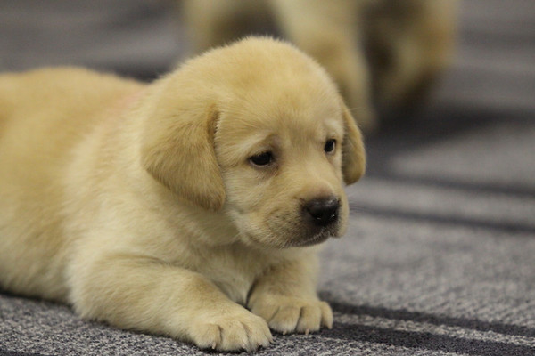 Lab Puppies Meet and Greet