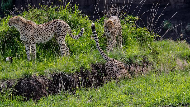 Cheetahs-0208.jpg