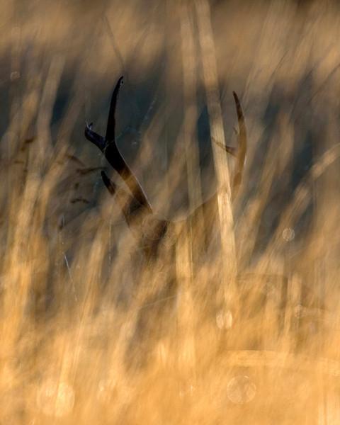 Blacktailed Buck, Sunrise