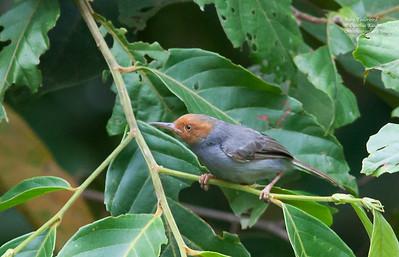 Orthotomus ruficeps - Ashy Tailorbird