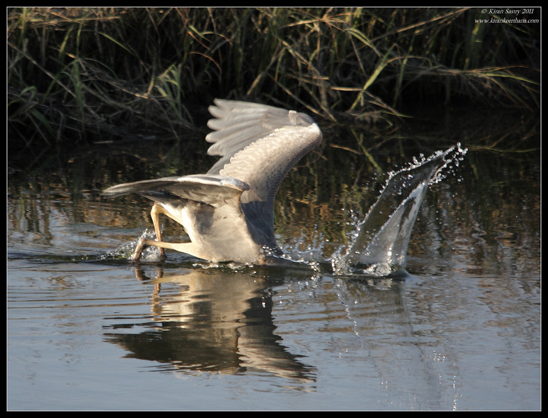 Great Blue Heron diving, Robb Field, San Diego River, San Diego County, California, April 2011