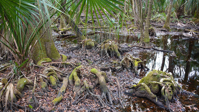 Tangles of roots in swamp