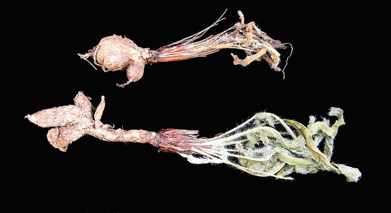 Pelargonium ellaphiae tubers