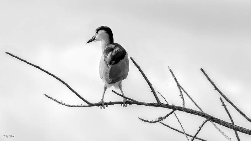 """Night Heron in Black and White"""