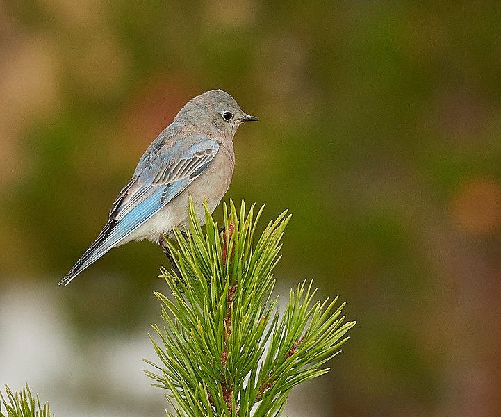 Mountain bluebird - wonderful little bird