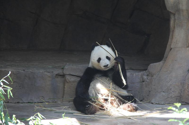 20170807-138 - San Diego Zoo - Giant Panda.JPG