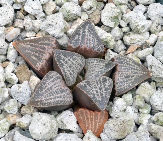 Haworthia pygmaea var argeno-maculosa