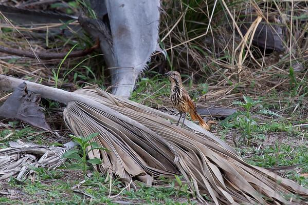 Palm Thrushes