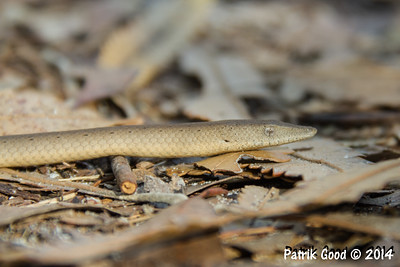 Burton's Snake-lizard