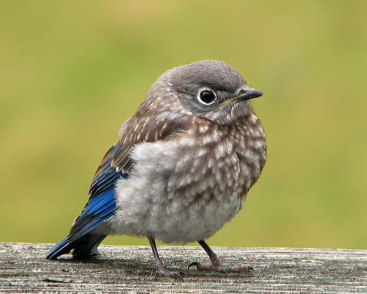 bluebird_fledgling_6252.jpg