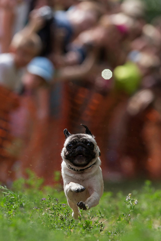 . Engelbert competes in a pug race during a pug dog meeting in Berlin August 3, 2013. Thirty one dogs took part in the competition that was organized by a local pug dog association. REUTERS/Thomas Peter