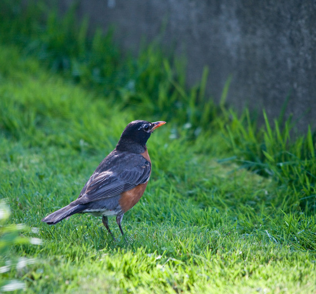 Backyard Birds c