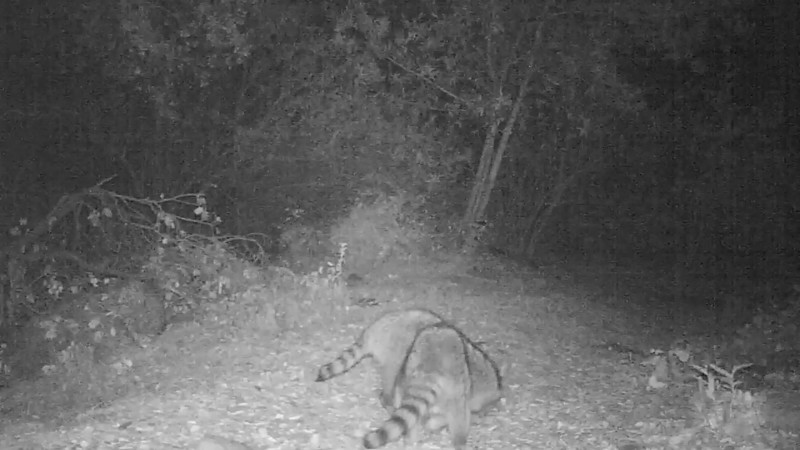 Raccoon 246 AM 06_20_2013.AVI