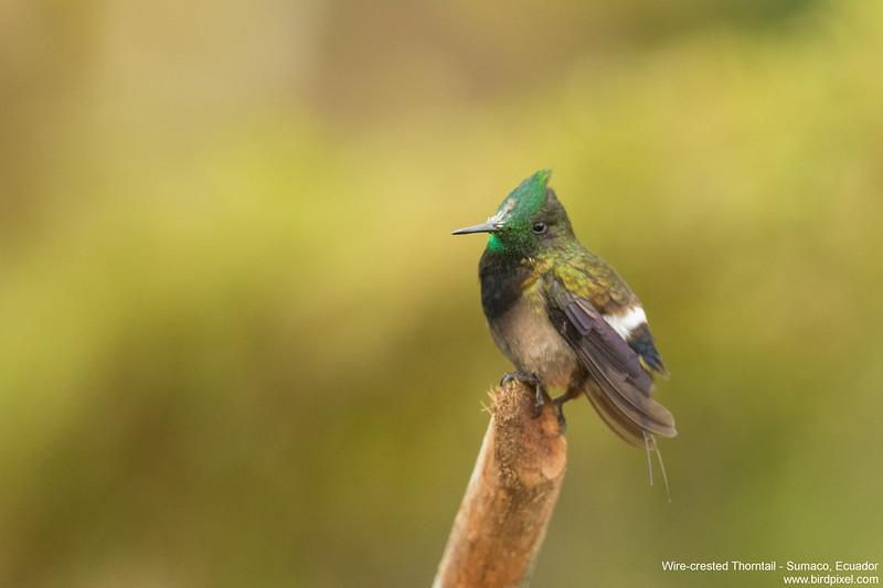 Wire-crested Thorntail - Sumaco, Ecuador