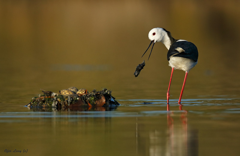 Stilt building a nest MASTER.jpg