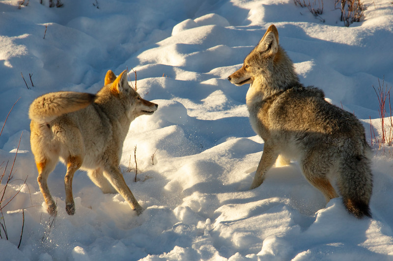 387A9575 Two coyotes fighting cropped.jpg