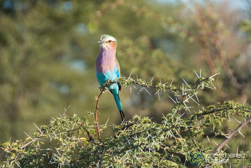 Lilac-breasted roller - Leroo La Tau, Botswana