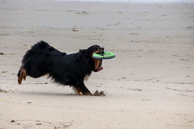 Dogs chasing Frisbee on the beach