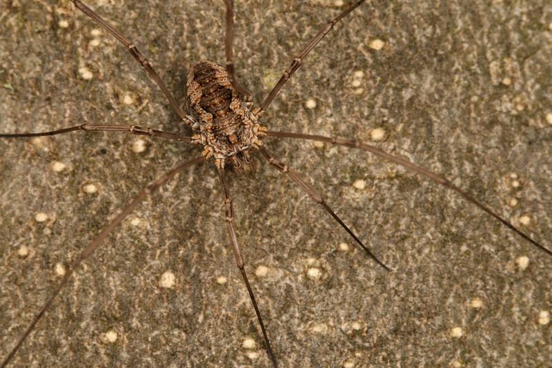 4349_phalangiidae.jpg