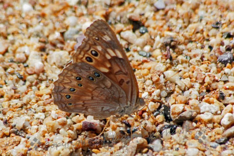 "Hackberry Emperor ~ This Hackberry Emperor was one of several types of butterflies that were ""puddling"" in water left from summer rains in Southeast Arizona.  The butterflies extract salts or minerals from the damp earth."