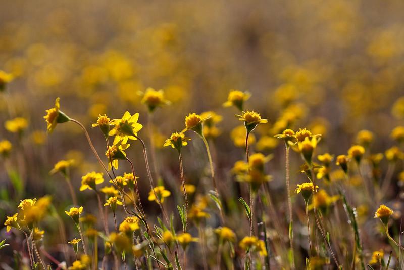 Goldfields Wildflowers