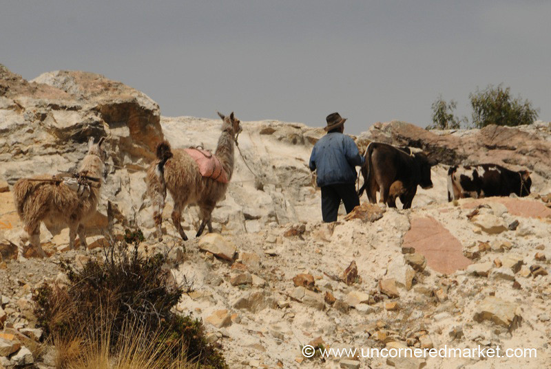 Taking the Animals Out for the Day - Yampupata, Bolivia
