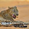 Leopard in Sri Lanka