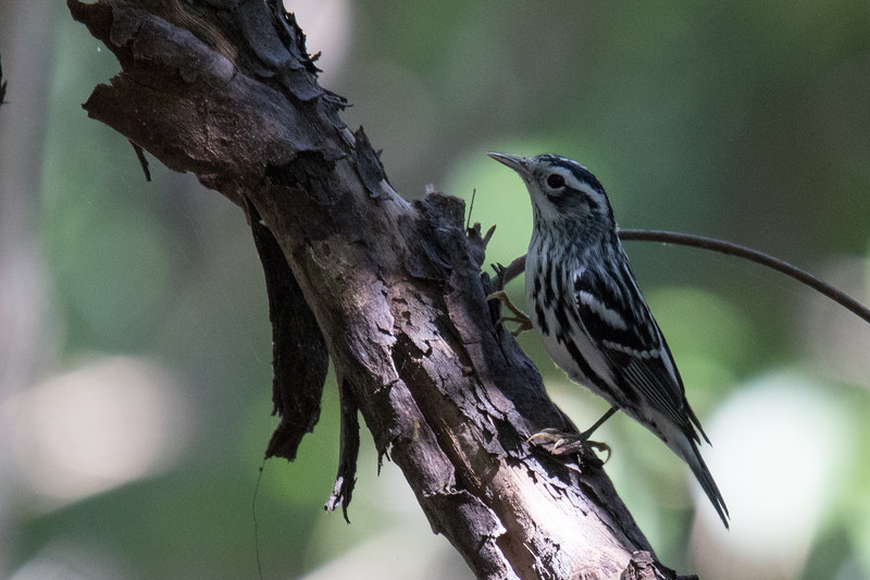 Black-and-white Warbler FL Keys 2020-1.jpg
