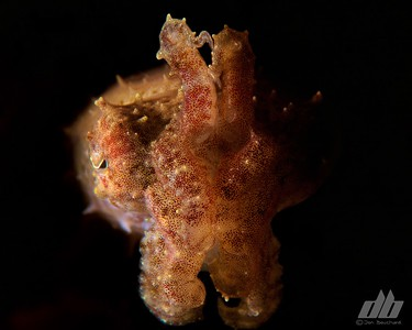 Indonesia 2018 Part 2-Lembeh Straight